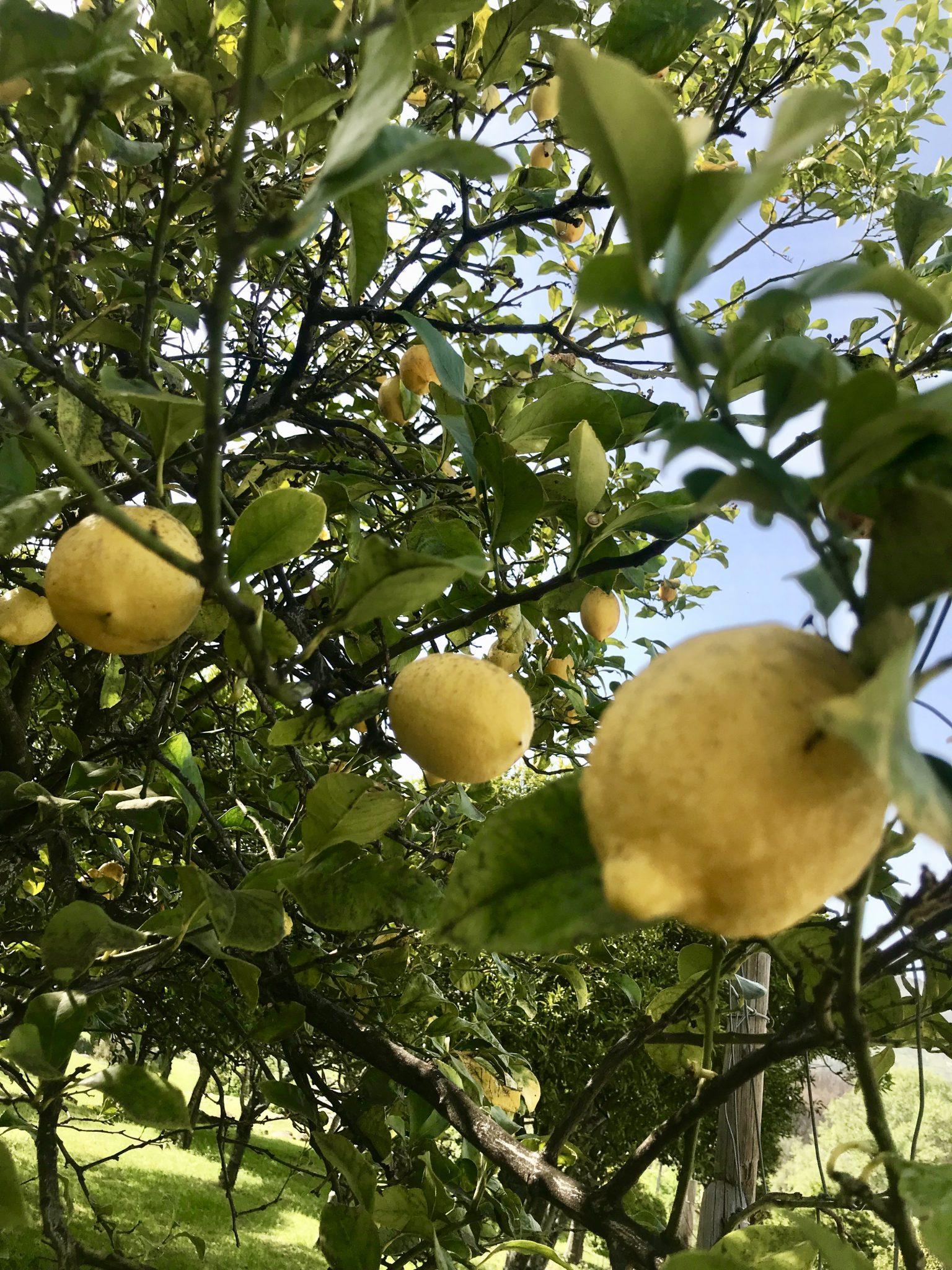 Quinta do Barrigoso Lemons