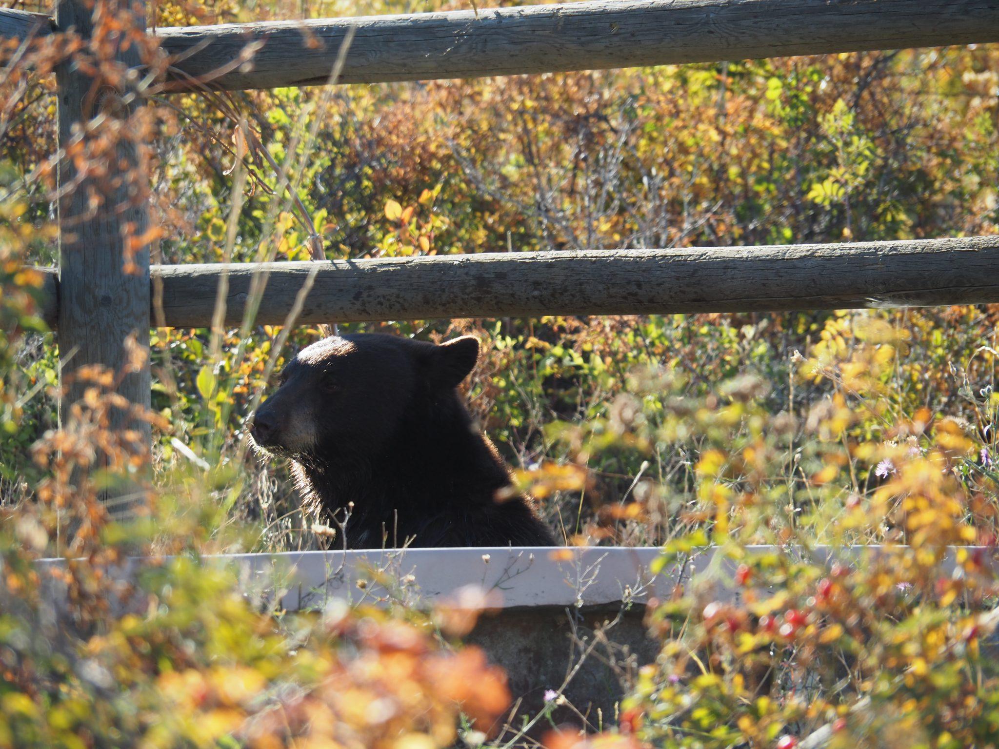 National Bison Range Montana USA Blackbear