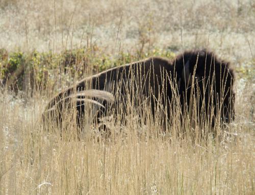 Auf der Pirsch in Montanas National Bison Range