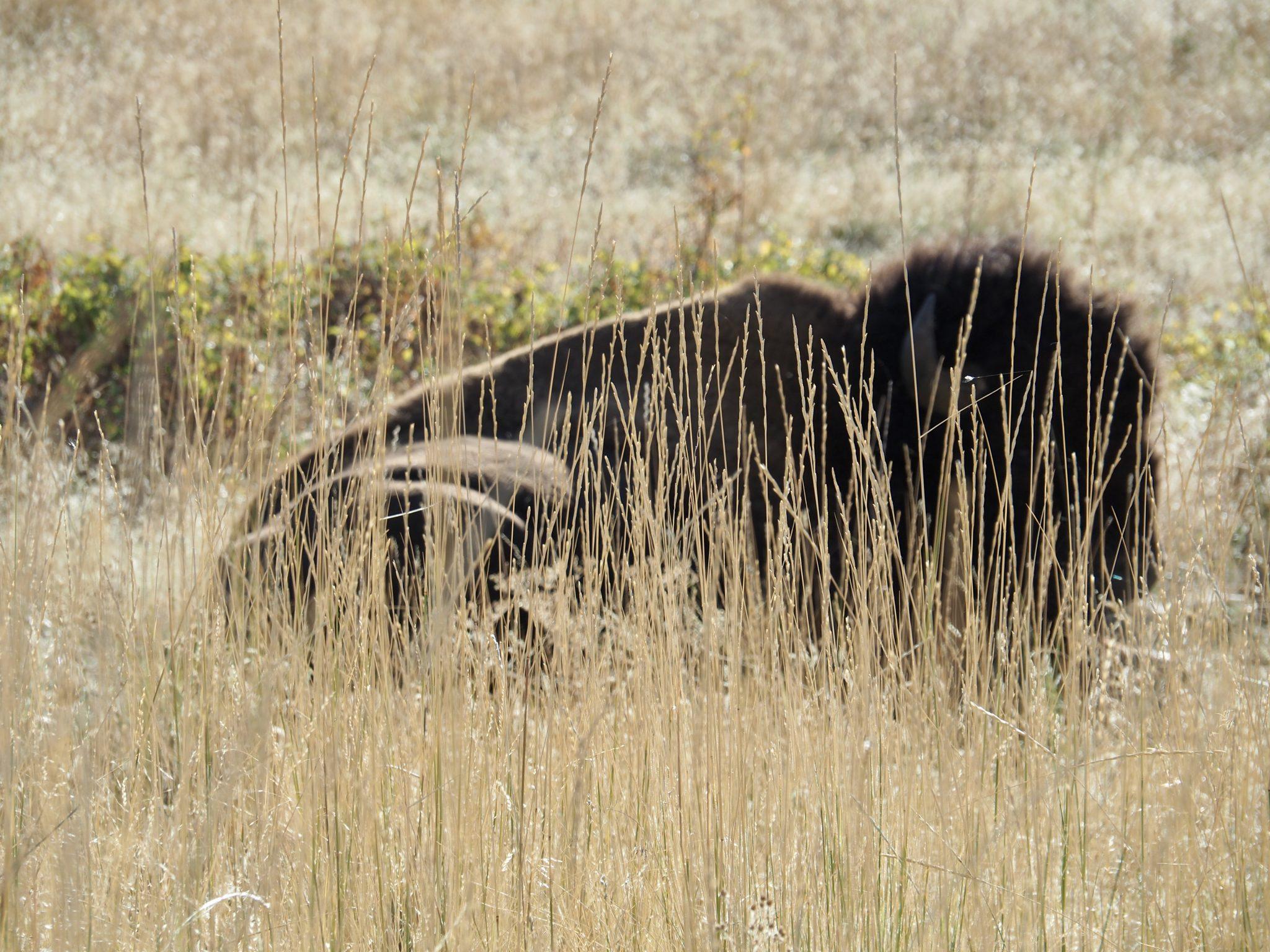 National Bison Range Montana USA Bison