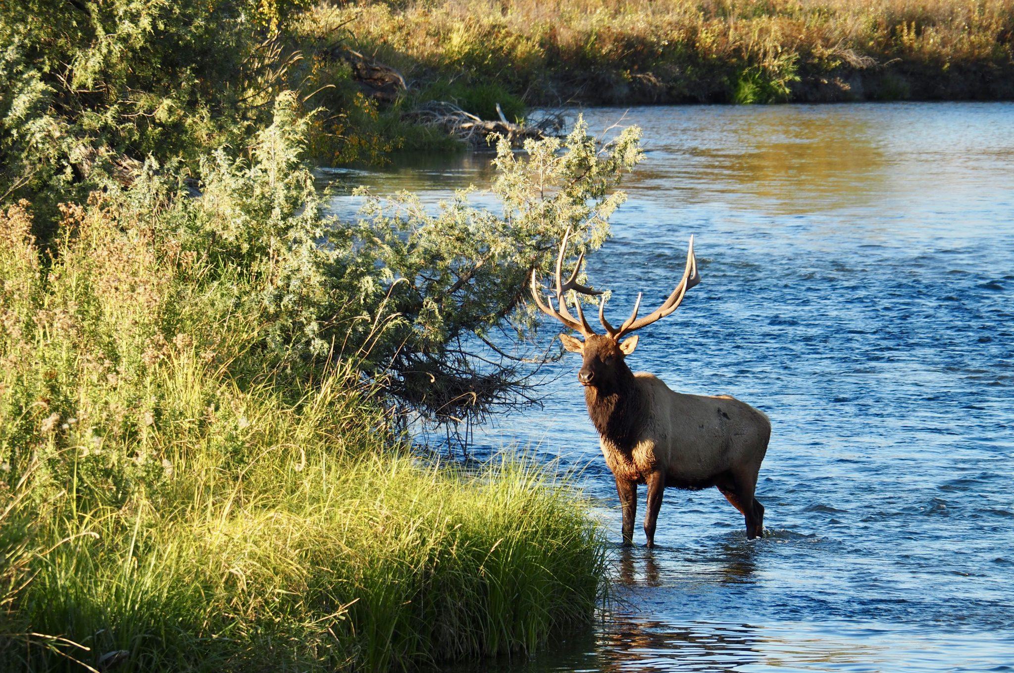 National Bison Range Montana USA Elk