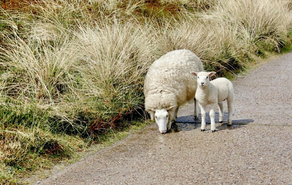 Schafe Sylt
